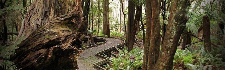 Lilly-Pilly-Gully-ferns-and-trees