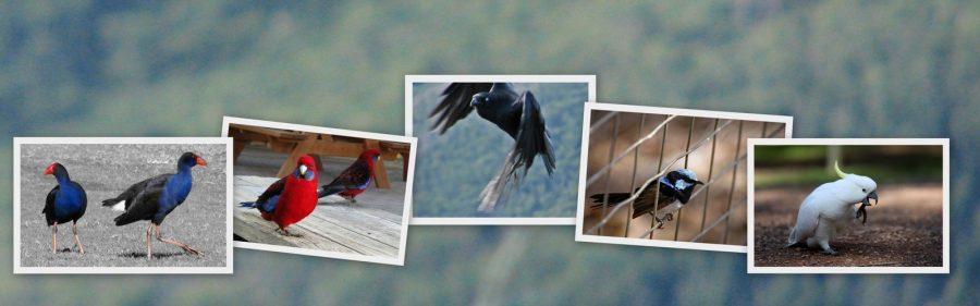 Native Australian Birds